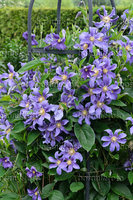 image-photo-solitary-clematis-clematis-integrifolia-juuli-545140.jpg